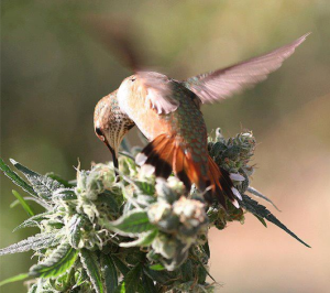 birdeatingcannabis