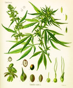 Cannabis_sativa_(Köhler)botanical.drawings