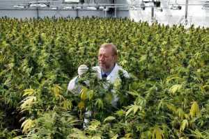 scientist amidst medical-cannabis-factory