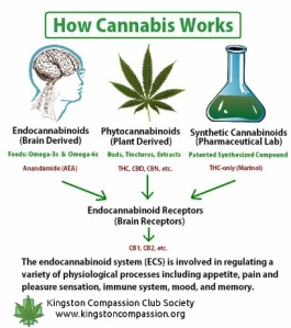 howcannabis works
